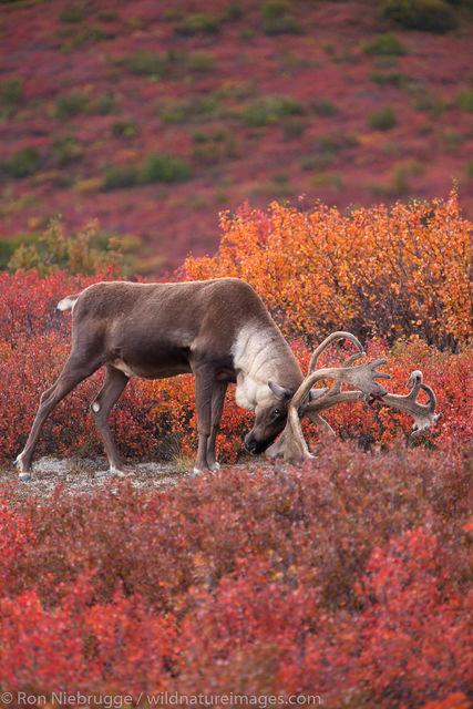 Bull Caribou