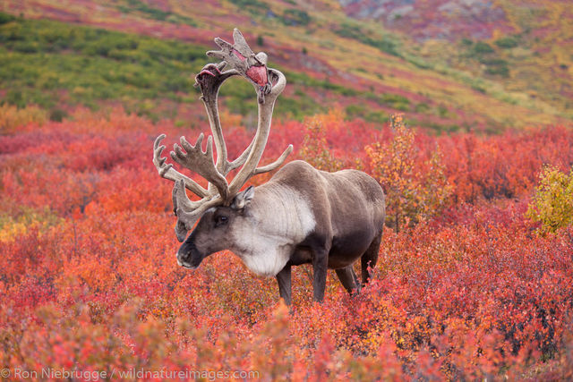 Denali National Park, Alaska, photo, picture, caribou
