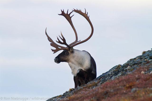 Caribou, Denali National Park