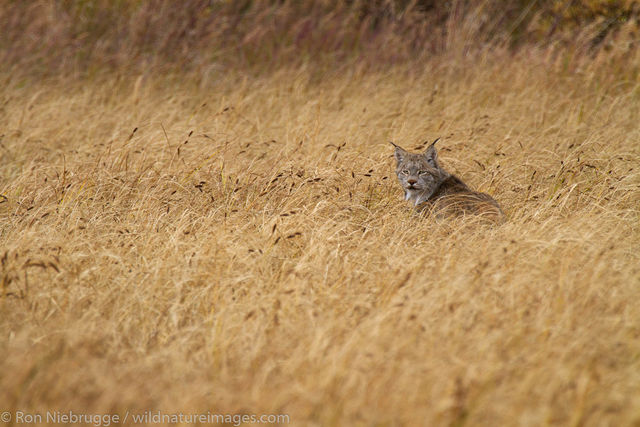 Denali National Park, Alaska, photo, picture, lynx