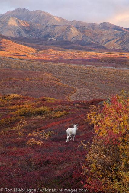 Dall Sheep, Denali National Park