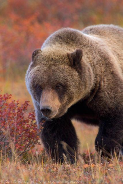 Denali National Park, Alaska, photo, picture, grizzly, bear, photos