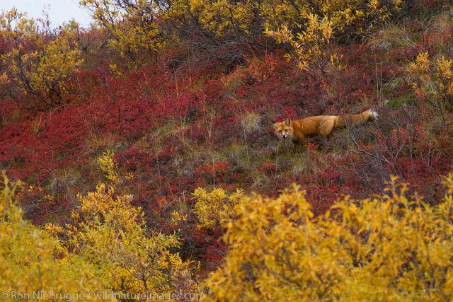 Red Fox, Denali National Park