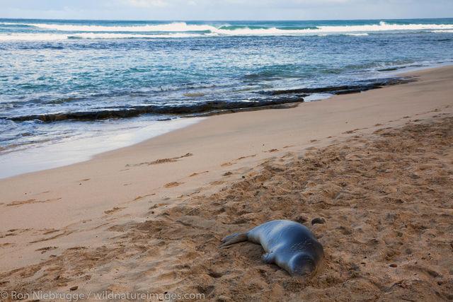 Hawaiian monk seal, Kauai, Hawaii