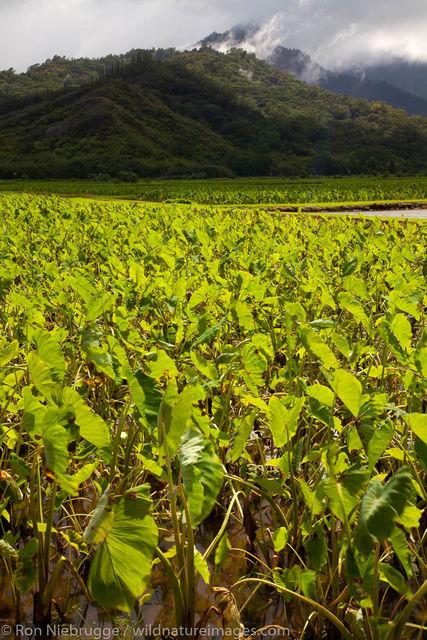 Taro fields, Kauai, Hawaii