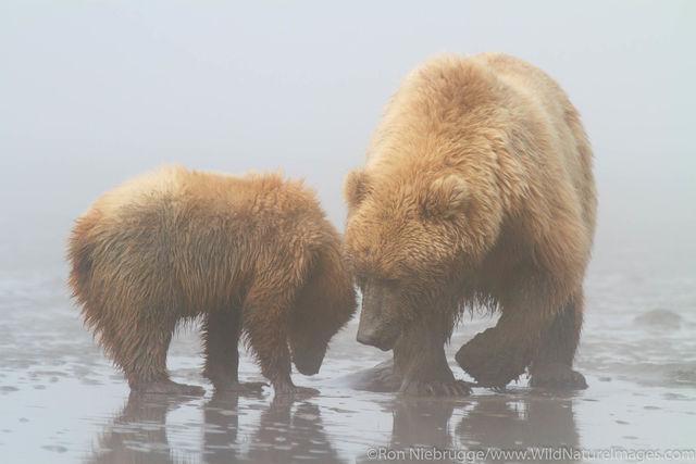 Bears Clamming