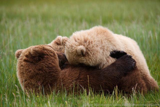 Nursing Brown Bear