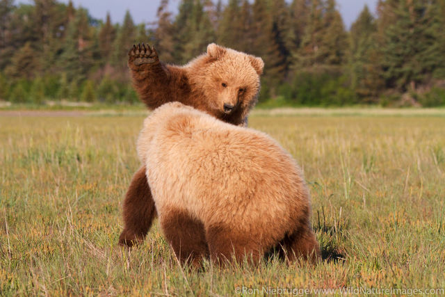 Juvenile Grizzly Bears