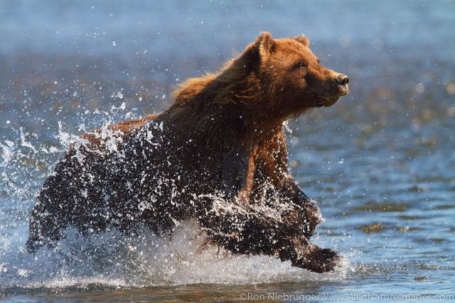 Charging Brown Bear
