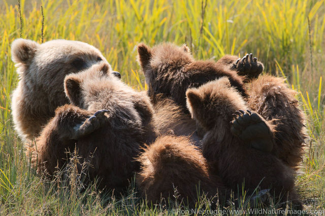 Sow nursing spring Cubs