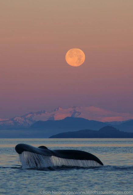 Tongass National Forest, Inside Passage, Alaska, humpback whale