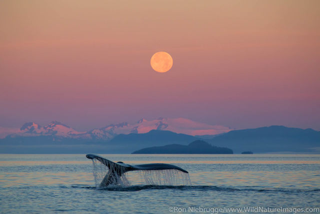 Tongass National Forest, Inside Passage, Alaska, humpback whale, whale
