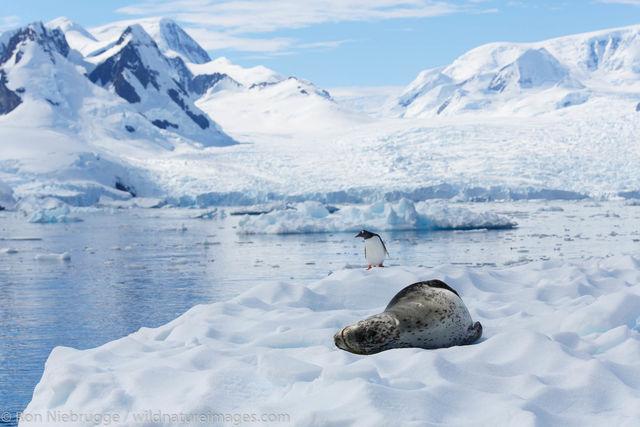 Leopard seal, Cierva Cove