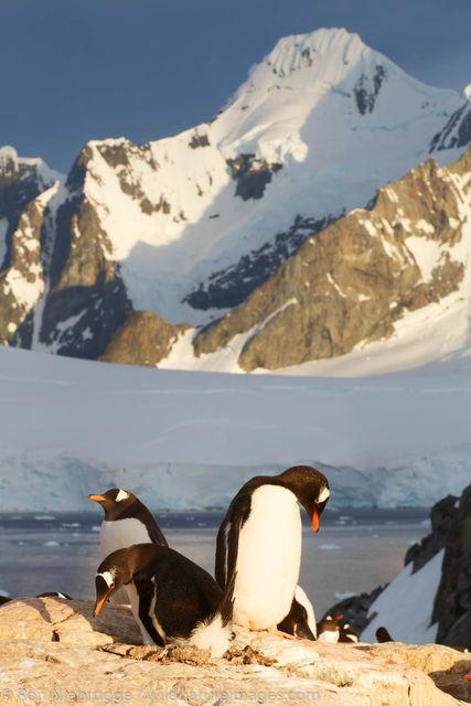 Gentoo Penguin, Booth Island