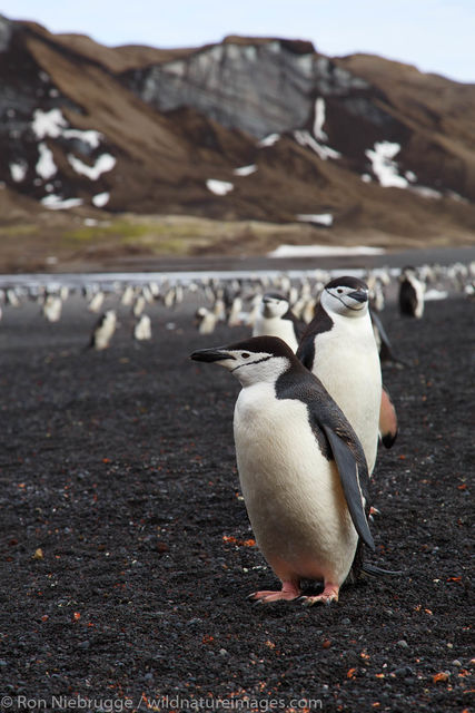 Chinstrip Penguins, Baily Head, Deception Island