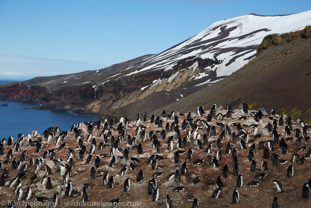Chinstrip Penguins, Deception Island