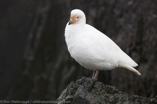 Pale-faced Sheathbill