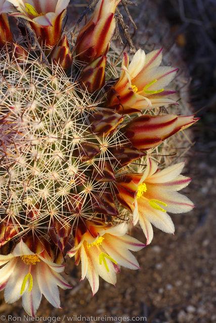 California fishhook cactus