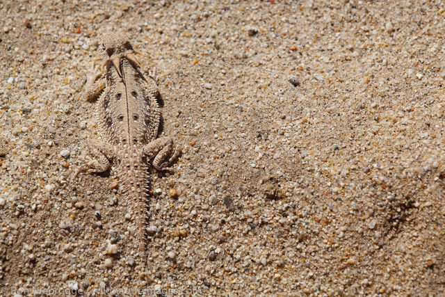lat-tail horned lizard