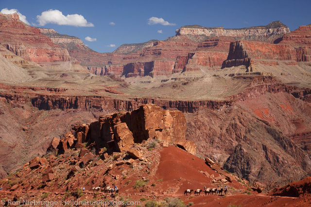 Mules on the South Kaibab Trail