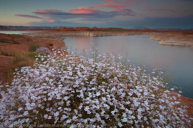 Wildflowers along Lake Powell