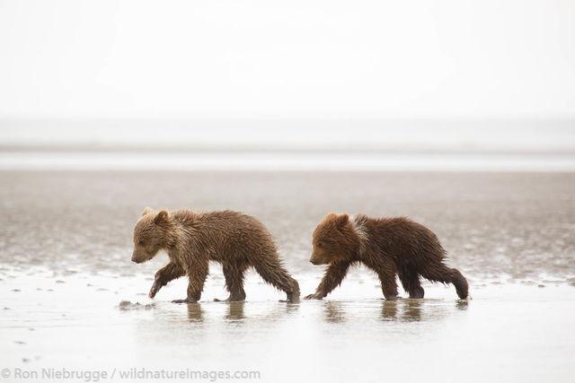 Little Bear Cubs