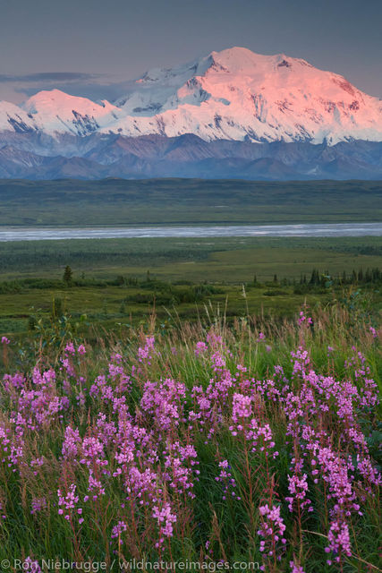 Denali National Park, Alaska, photo, picture, wildflower, fireweed