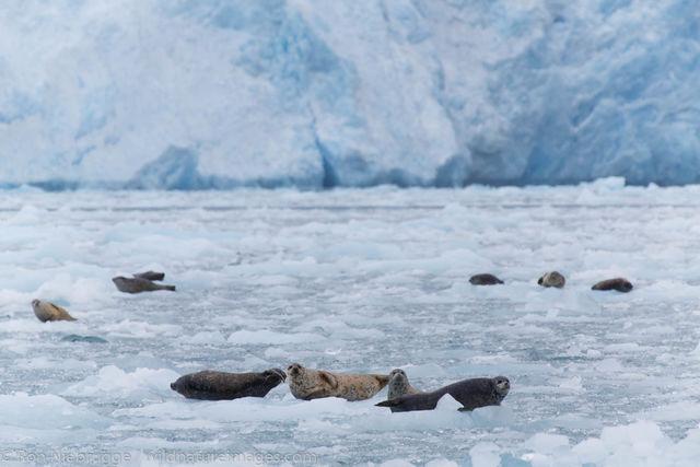 Harbor Seals, Chenega Glacier