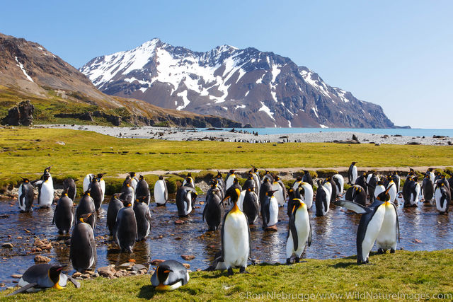 King Penguins, Fortuna Bay