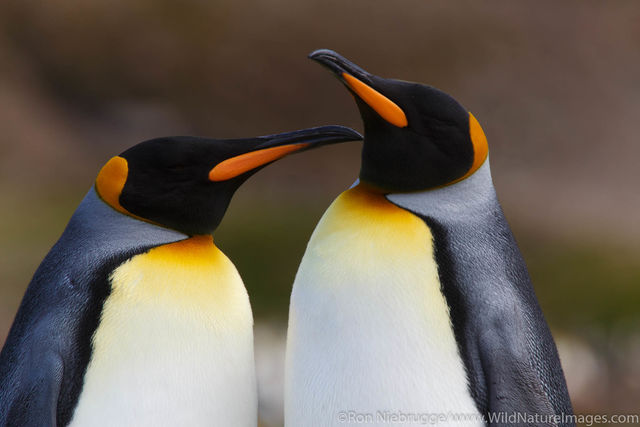 Antarctica, King Penguins