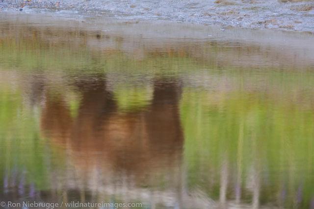 Bear Reflections
