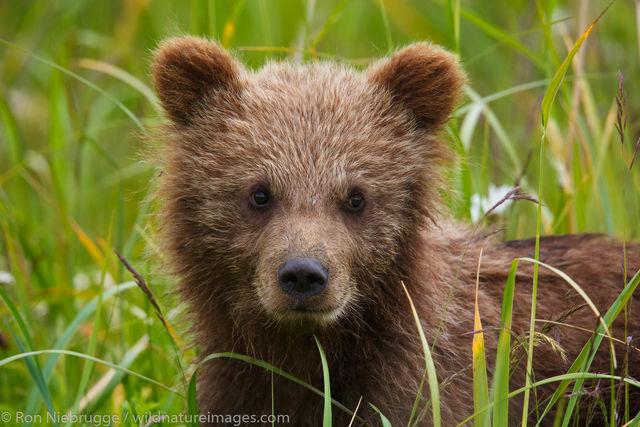 Brown Bear Cubs