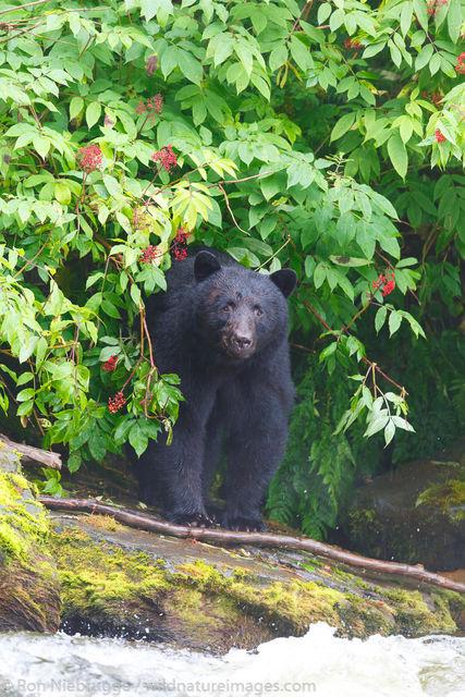 Tongass National Forest, Inside Passage, Alaska, black bear, , bear, photos