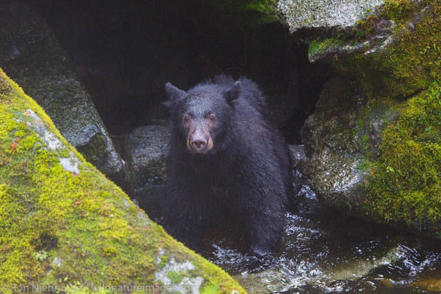 Black Bear at Anan Wildlife Observatory