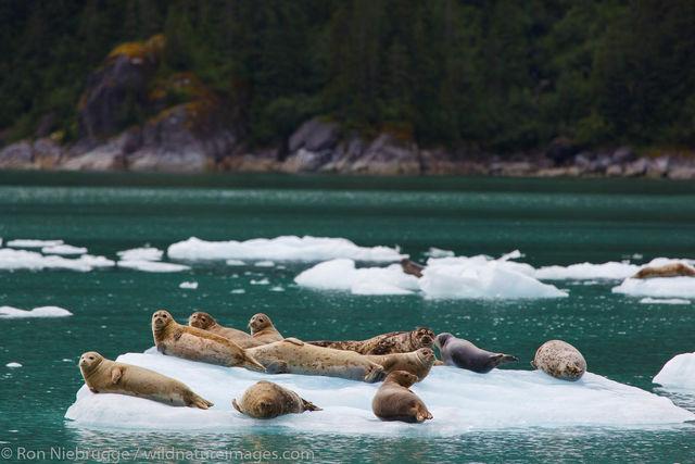 Tongass National Forest, Inside Passage, Alaska, Harbor Seal