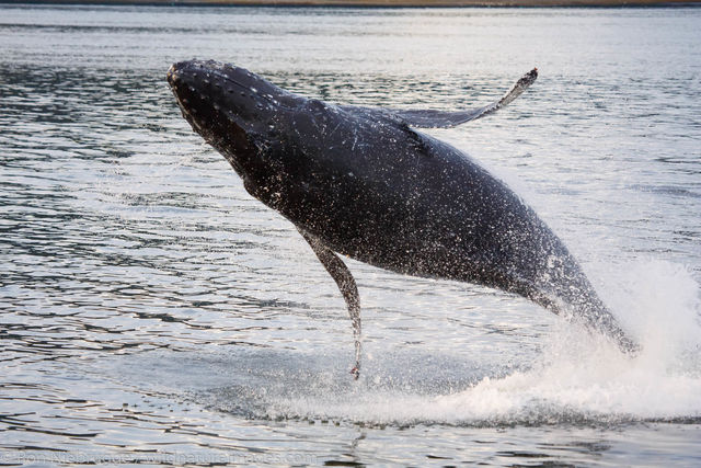 Tongass National Forest, Inside Passage, Alaska, humpback whale, whales