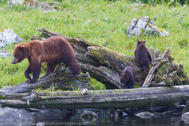 Brown Bear, Baranof Island