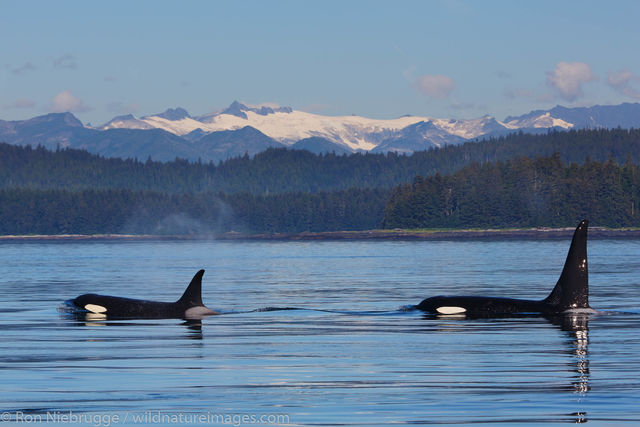 Tongass National Forest, Inside Passage, Alaska, orca, killer whale