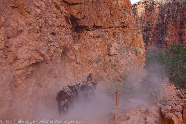Mules at Havasu Falls