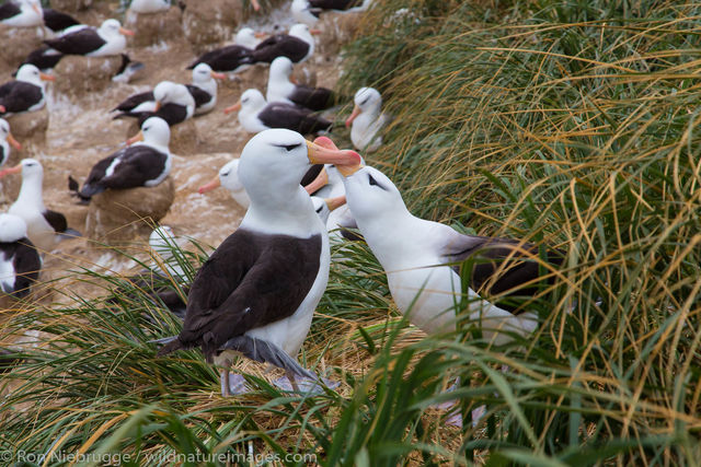 Black-browed albatross colony