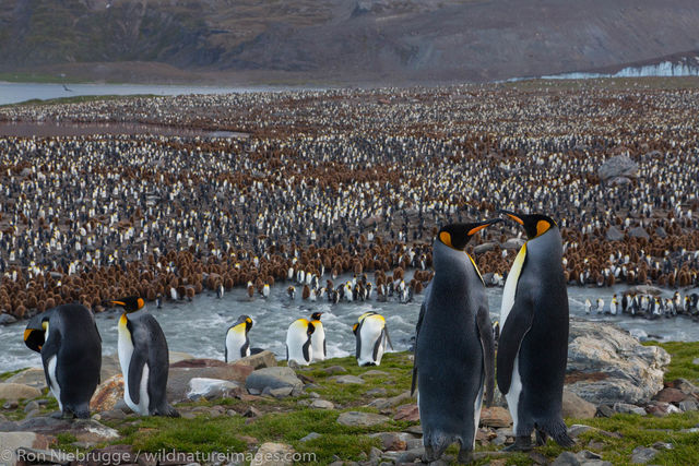 King penguins, St Andrews Bay