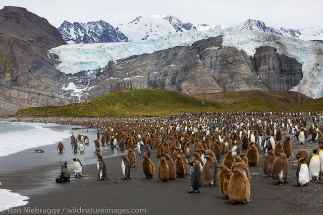 King penguins, Gold Harbour