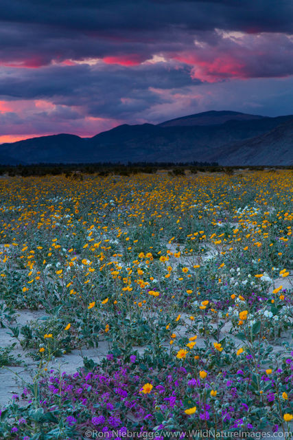 Widlflowers at sunset