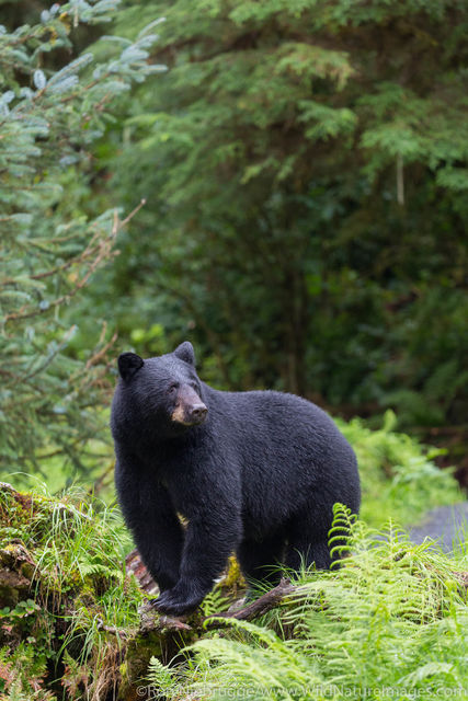 Tongass National Forest, Inside Passage, Alaska, black Bear, Anan, bear, photos