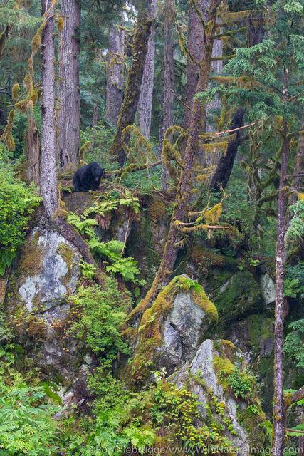 Black Bear, Anan Creek, Tongass National Forest