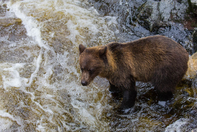 Tongass National Forest, Inside Passage, Alaska, brown Bear, Anan, bear, photos