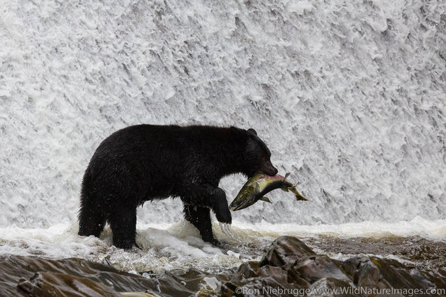 Tongass National Forest, Inside Passage, Alaska, bear, photos