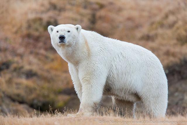 Arctic, Alaska, polar bear, bear, photos, Arctic National Wildlife Refuge, ANWR