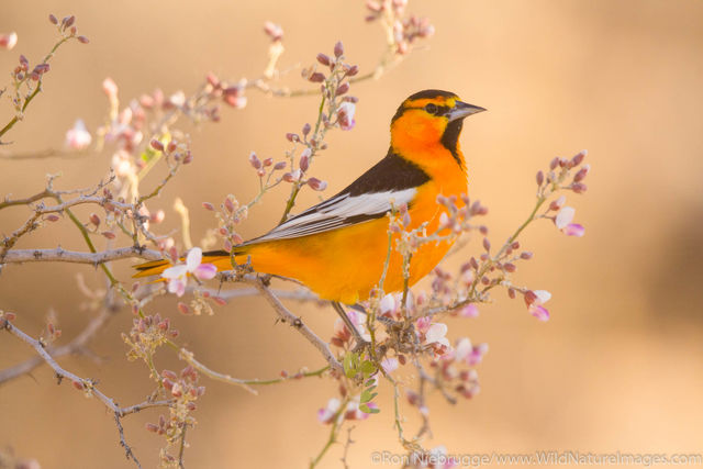 Tucson, Arizona, Bullock's oriole, bird, photos