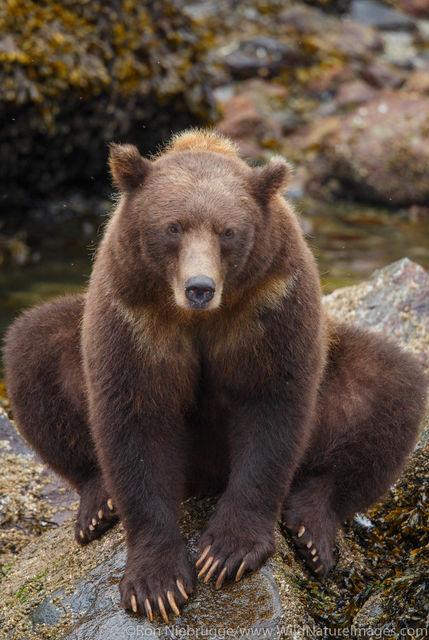 Tongass National Forest, Inside Passage, Alaska, brown bear, bear, photos